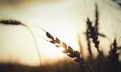 Épi de blé - Soleil