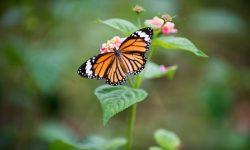 Monarque par Daniel Klein (unsplash.com)