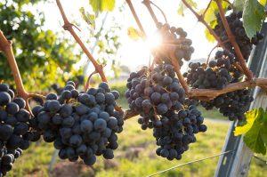 Vigne, sarments, soleil par David Kohler (unsplash.com)