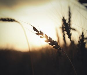 Sun, ear of wheat by Kirill Pershin (unsplash.com)