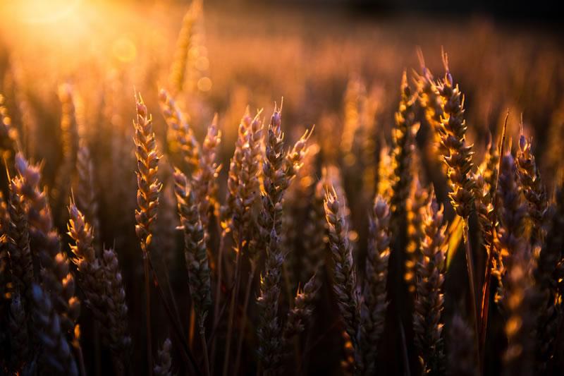 Épis de blé et soleil par Jacek Dylag (unsplash.com)