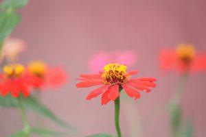 Fleurs, fragilité par Moon Bhuyan (unsplash.com)